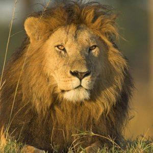 African Lion (Panthera leo) male, Masai Mara National Reserve, Kenya