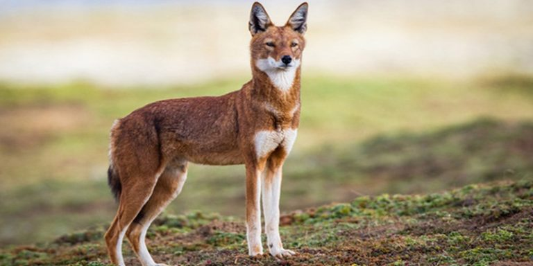 The Ethiopian Wolf.