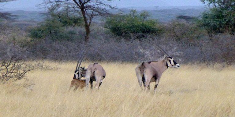 awash-ethiopie-oryx