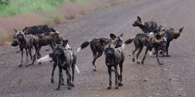 African Wild Dogs in Mago National Park